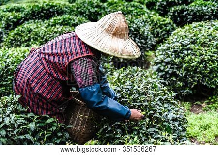 Every Years In Spring Female Use Hand Finger Pick Green Tea Leaves At A Tea Plantation For Best Prod
