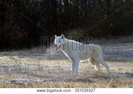 The Hudson Bay Wolf (canis Lupus Hudsonicus) Subspecies Of The Wolf (canis Lupus) Also Known As The