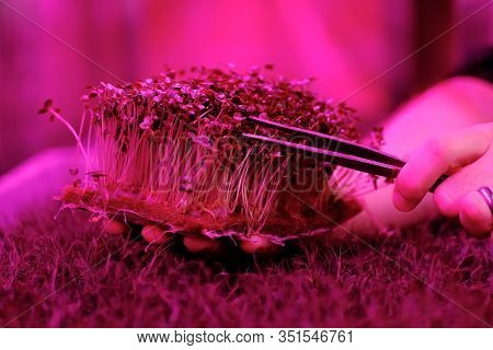 Growing Organic Mustard Microgreens On Coconut Coir. Man Hand Picking Young Plants With Pincers In A