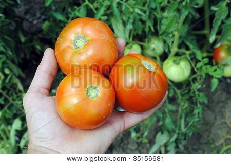 man hand with three organic tomatoes in the garden