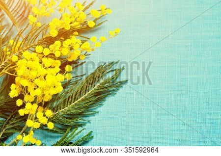 Spring background with spring mimosa flowers, spring flowers of mimosa. Spring card, colorful spring background. Spring flowers of mimosa on the blue linen background, spring composition. Spring flowers of mimosa, spring nature background