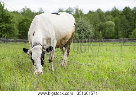 Cow Grazing On A Spring Pasture. Cow On The Background Of Green Field, Forest And Blue Sky. Beautifu