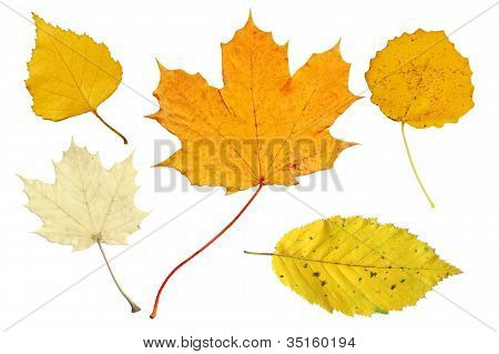 Pale And Yellow Autumn Leaves