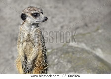 Very Funny Meerkat Manor Portrait In A Clearing At The Zoo . The Meerkat Or Suricate Is A Small Carn