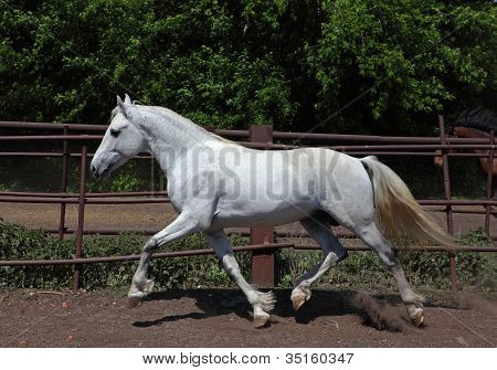White Andalusian stallion in the sun