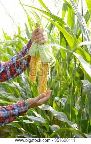 Unwrapped Organic Corn Cobs In His Farmer's Hands. Harvest Care Concept