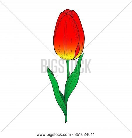 Red Tulip Hand Drawn Drawing.stylized Image Of A Tulip Flower.one Tulip Isolated On A White Backgrou