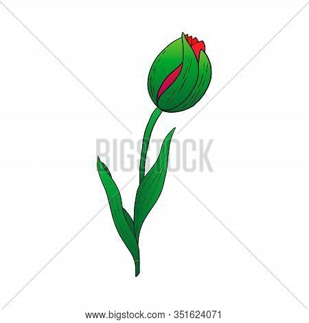 Red Tulip Bud Hand Drawn Drawing.stylized Image Of A Tulip Flower.one Tulip Isolated On A White Back