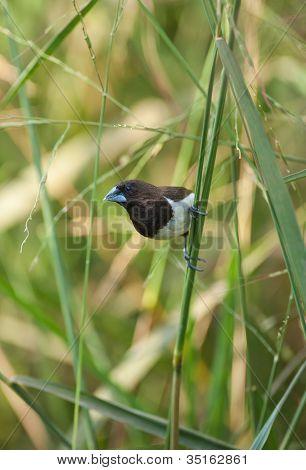 Blaue Finken im Gras