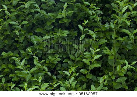 Leaves and shrub texture