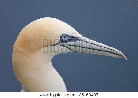 Gannet Vogel