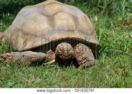 Large Tortoise Creeping Through Green Grass In The Spring.