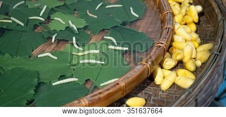 The Silkworm Is The Larva Or Caterpillar Of The Domestic Silkmoth, Bombyx Mori. Silkworm Eating Mulb