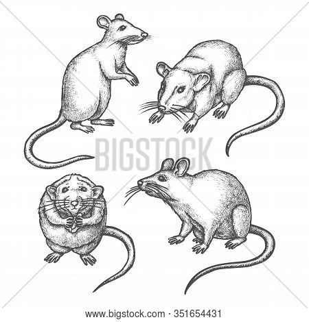 Mouse Sketch Or Hand Drawn Rat. Lab Rodent Sniffing Or Laboratory Animal Standing. Wild Mice Pest Ic