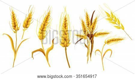 Set Of Isolated Ear Or Wheat Spikes, Spikelet In Watercolor. Realistic Farm Plant With Seeds Or Grai
