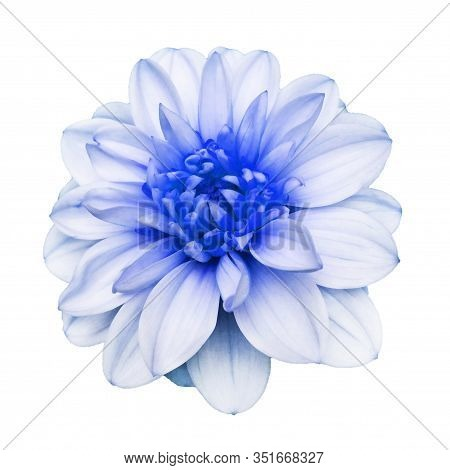Beautiful Fresh White And Blue Colored Dahlia Flower In Full Bloom.