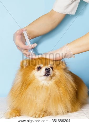 Vaccination For Dog. Doctor Treats A Pomeranian Spitz In Clinic. Prevention Of Pet Diseases. Copy Sp