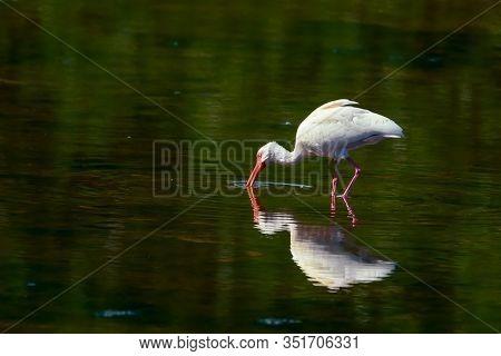 American White Ibis (eudocimus Albus) Huntingin J.n.