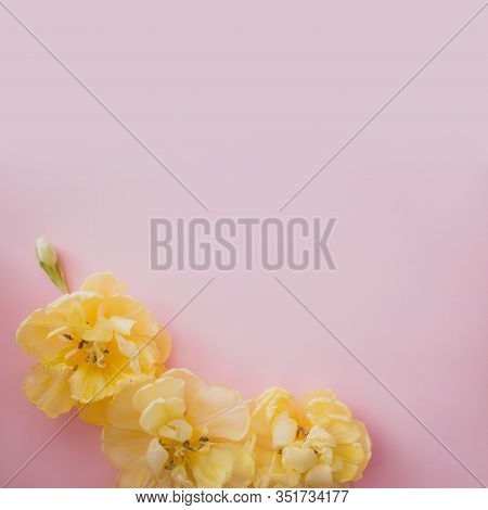 Yellow Tulip Flowers On Pink Backround. Spring Concept Backdrop. Place For Text. Flat Lay Style.