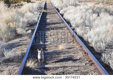 Chihuahua on the Tracks
