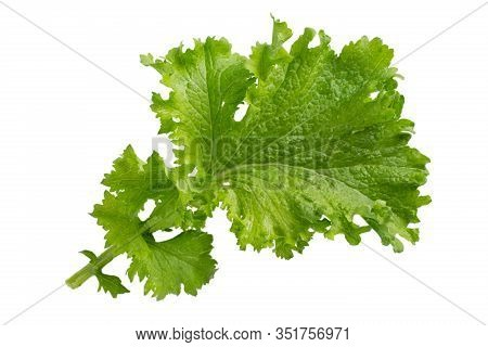 Mustard Leaf Isolated On White Background. Сurled Leaf Mustard, Brassica Juncea.  Close-up.