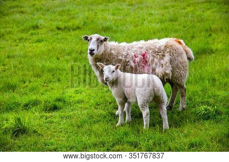 Sheep And Lamb Pasture On The Green Field. Ewe Sheep And Single Lamb Looking On Spring Grass. Sheeps