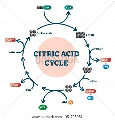 Citric Acid Cycle Diagram, Vector Illustration Molecular Scheme. Organic Acid Found In Citrus Fruits