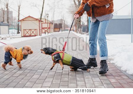 Aggressive, Disobedient Dog Problems Concept. Woman Holding Her Disobedient Dachshund On A Leash, Do