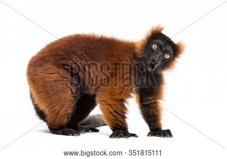 Surprised red ruffed lemur in front of a white background
