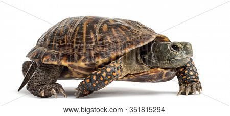 common box turtle, isolated on white