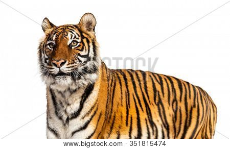 Portrait of a big male tiger, big cat, isolated on white