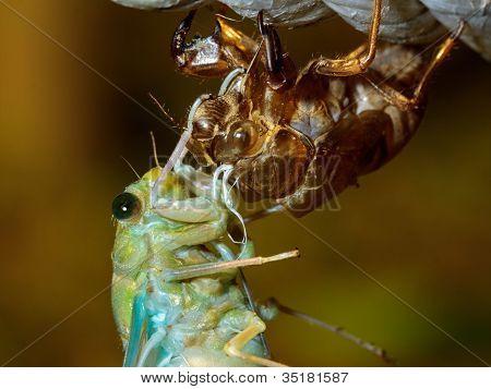 Cicada (Tibicen pruinosus) metamorphosis