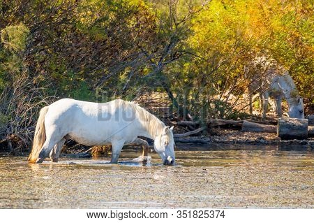 Two White Horses In A Beautiful Summery Sunny Day In Camargue, France