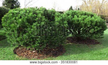 Dwarf Mountain Pine On The Lawn, Selective Focus. Pinus Mugo