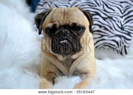 Cute Young Pug