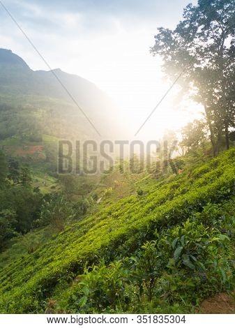 Beautiful Landscape Of Sun Rising Above Tea Bushes On The Plantation