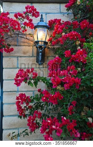 Bougainvillea bloom prolifically in Temecula, California. These flowers grow wild throughout the area.