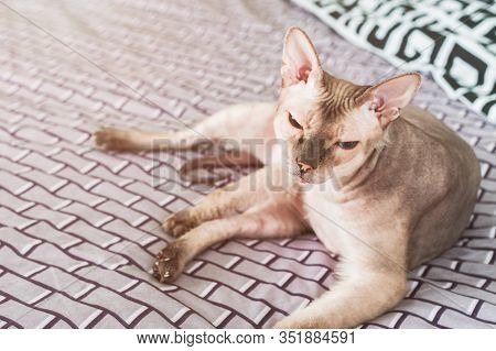 The Sphinx Cat Is Lying On The Bed. Karakul Sphinx Of Beautiful Color