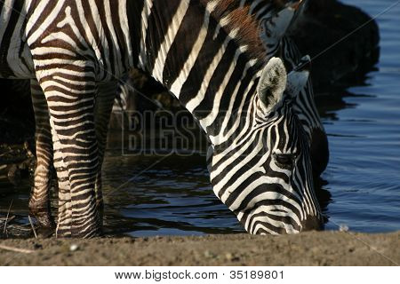 Zebra drinking at water hole