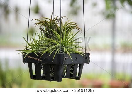 Beautiful Of Tillandsia Ionantha Planch In Garden