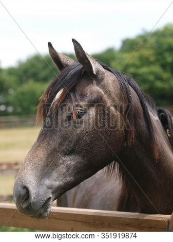 A Head Shot Of A Grey Thoroughbred Horse In The Paddock At A Stud Farm. Thoroughbred Horse In The Pa