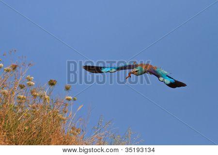 european roller (coracias garrulus) in flight on a blue sky poster