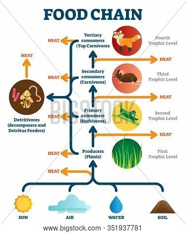 Food Chain Vector Illustration Diagram. Biological Life Science. Heat And Energy Transforming Betwee