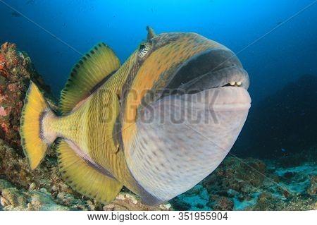 Titan Triggerfish underwater fish photo