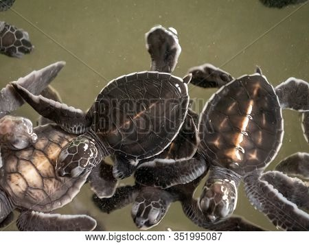 Closeup Image Of Small Newly Born Turtles Swimming In Water