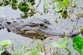 Alligator closeup in wild in Gator Park in Miami, Florida. poster