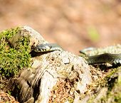 A common water snake (natrix) crawling on a wood log in the forest poster