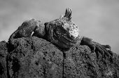 A Marine Iguana peers over a rock on the Galapagos Islands poster