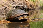Blandings Turtle (Emydoidea blandingii) basking on a log in a creek of northern Illinois. poster