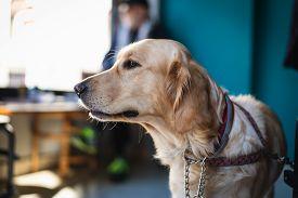 Golden Retriever Dog Portrait. Golden Retriever Dog In Bar. Close Up Of Retriever Dog. Golden Retrie
